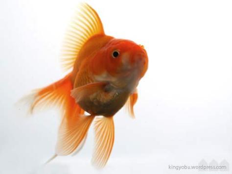 金魚 子供
