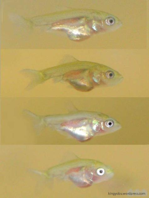 稚魚の選別 横見