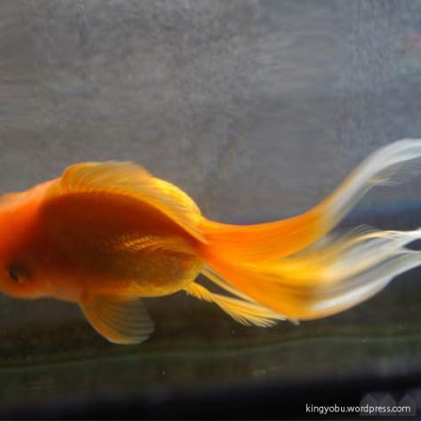 丸手の金魚でも長くて開いていない尾のほうがきれいに流れます