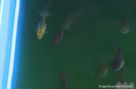 こちらの稚魚は少し色が薄いレモン色です