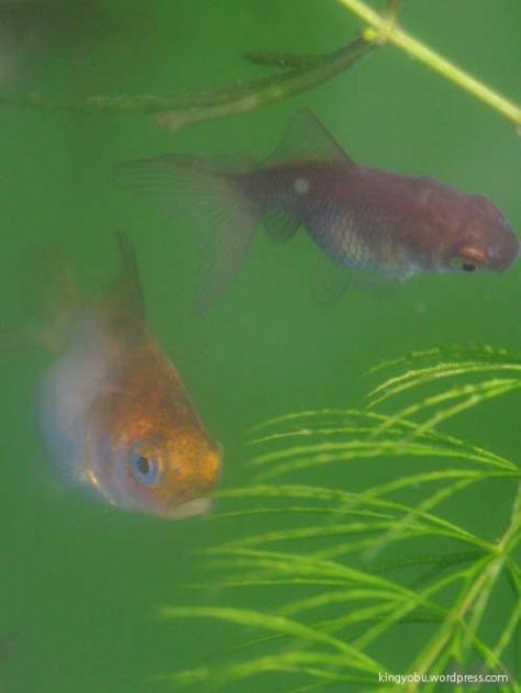 66日で 色が変わった金魚の稚魚