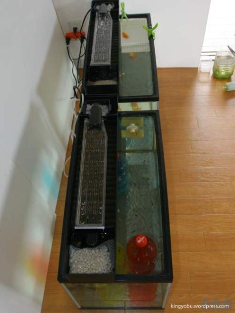 今年は早くから稚魚飼育でも活躍の上部ろ過装置