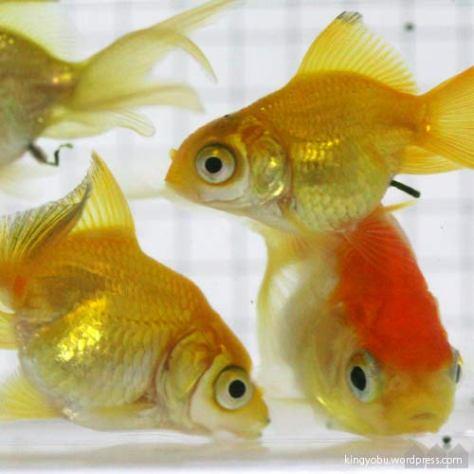 コロコロした金魚に育てる方法