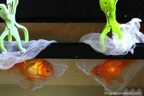 転覆金魚の隔離 ストッキング素材