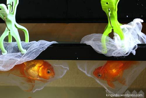 金魚 ひっくり返る