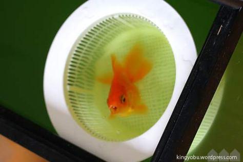 転覆金魚の隔離 排水口受