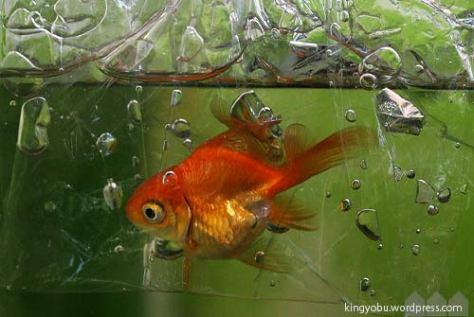 転覆金魚の隔離 ラップ