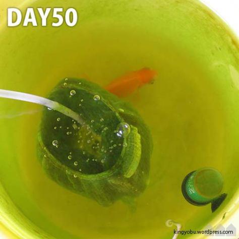 ND_day50_koke