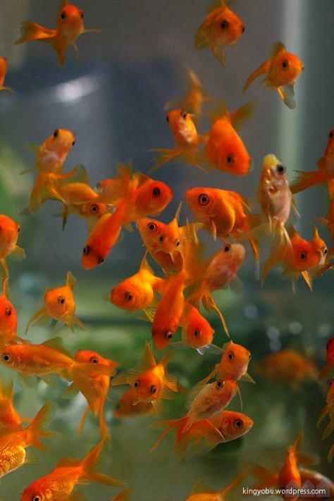 金魚水槽 過密飼育