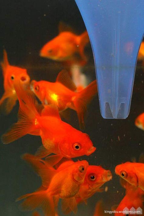 金魚への自動給餌