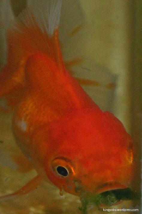 藻を食べる金魚ちゃん