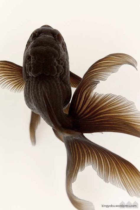 black_oranda_the_curve_ahea