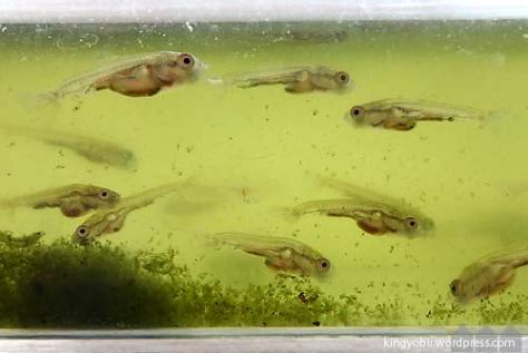 金魚の稚魚 4週目